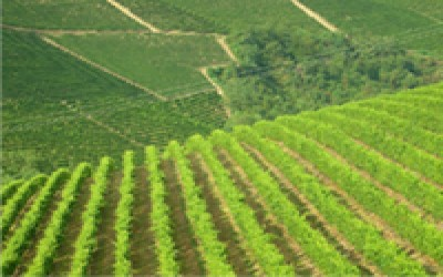 CINZANO'S VINEYARDS